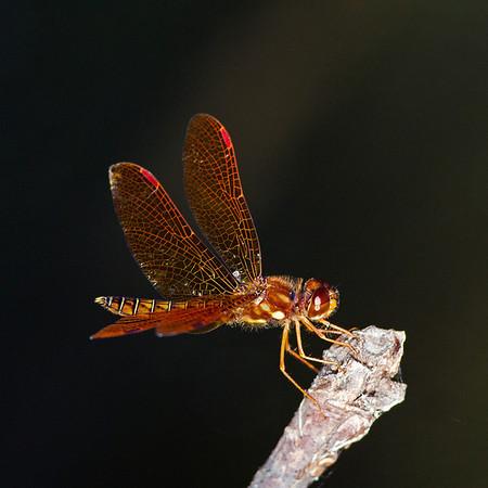 CF-Dragonflies, Butterflies, Moths,and Bees