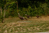 Wild Turkeys in Southampton photo by Rob Rich/SocietyAllure.com © 2014 robwayne1@aol.com 516-676-3939