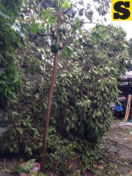 CEBU. Trees at Singson village, Barangay Guadalupe were toppled by Typhoon Yolanda as it made landfall on Friday. (Jean Mondoñedo-Ynot/Sunnex)