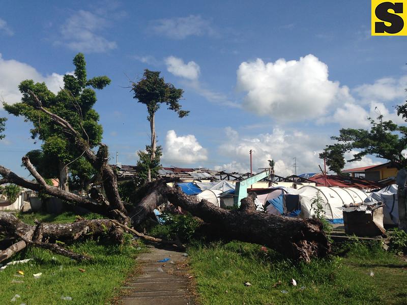 Tree toppled by Typhoon Yolanda