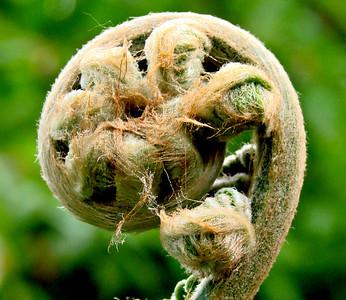 A new fern - Lost Gardens of Heligan, Cornwall.