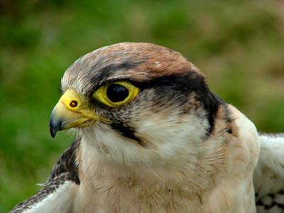 Hawk at the Arlesford Show - Arlesford, Hampshire.