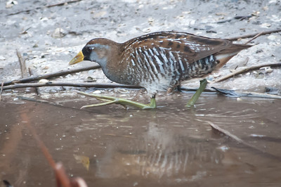 Sora Rail at Ding Darling Bailey Tract. These are secretive birds and are usually heard, but not seen. My first sighting ever (I think).