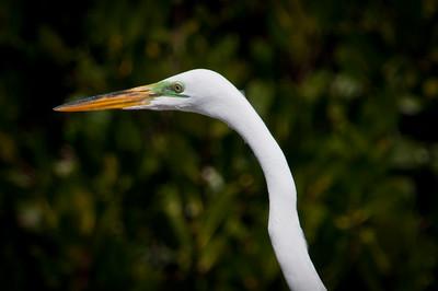Great Egret at Ding Darling.
