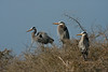 Great Blue Herons Great Blue Herons on Chester Island. <em>Photo credit: Diane D. Nunley<em>