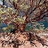 Manzanita tree, Hetch Hetchy