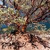 Manzanita tree, Hetch Hetchy