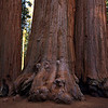 Sequoia NP, three giants