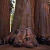 Sequoia NP, three giants