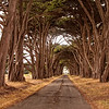 Monterey Cypress, Point Reyes