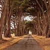 Monterey Cypress, Point Reyes