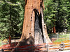 Another Sequoia