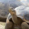 Galapagos Tortoise, San Diego Zoo