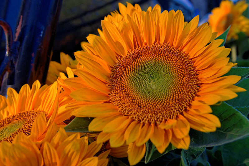 Sunflower at Sonoma Farmers' Market