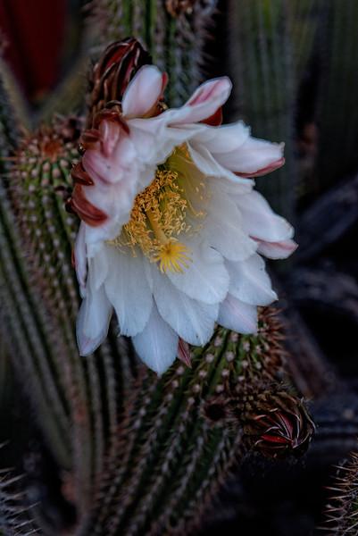 Cactus Flower, Sonoma