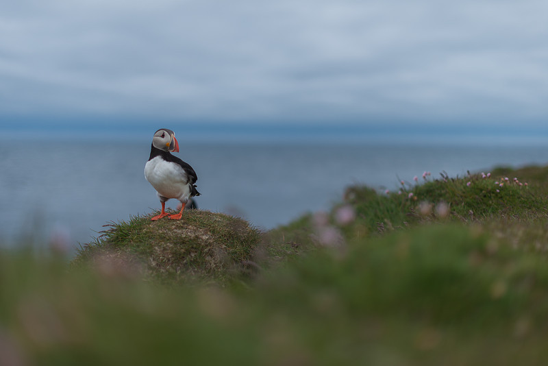Puffin puffin puffin! - Iceland
