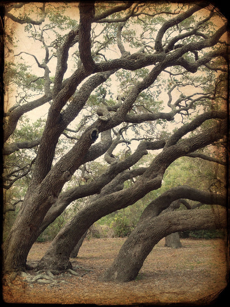 Big, old, live oak trees. Can you tell which way the wind blows?