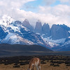 A Guanaco Eating Grass in with the Andes Mountains Looming in the Background - Chile