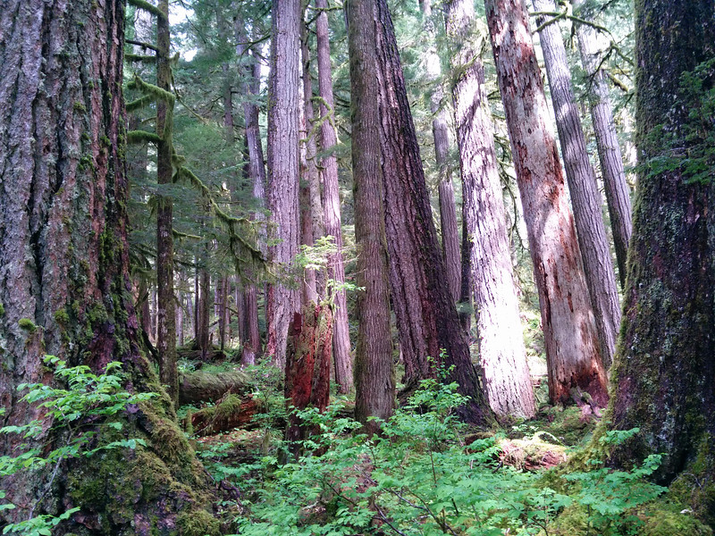 Massive trees in Olympic National Park