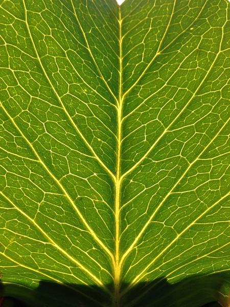 Backlight leaf
