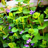 Wild violet - weeds can be pretty too. <br /> I'm really just testing the mobile upload feature here, and had a pic of weeds on my compost bin all ready to go. I thought they were pretty. Not the greatest pic though.