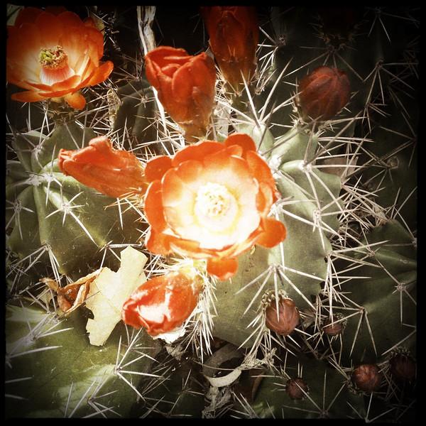 Desert flower in Phx