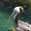 Zen pelican.