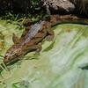 Long-nosed alligator...waits.