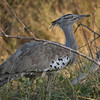 kori bustard-heaviest flying bird.