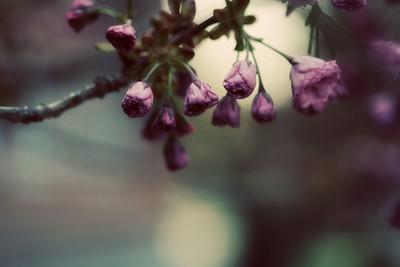 cherryblossums1