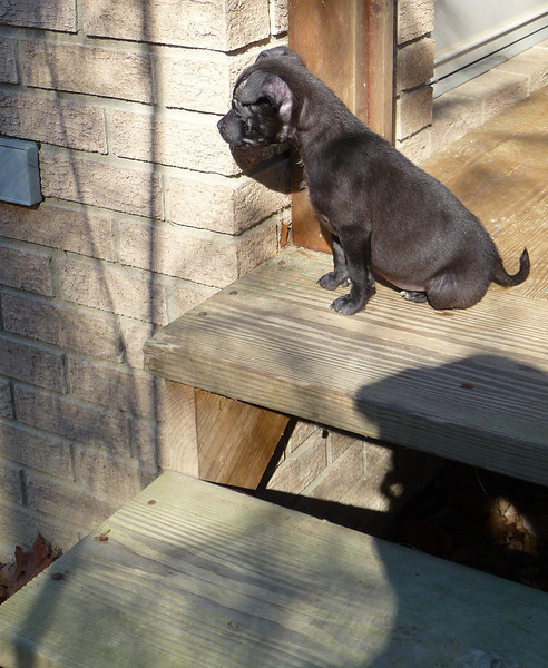 <h1>It's a big world out there</h1>Bradley, on our back porch.  The steps are bigger than she is!!