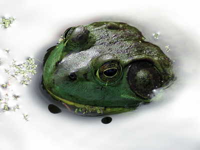 American bullfrog (Lithobates catesbeianus or Rana catesbeiana)