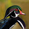 Wood Duck (Aix sponsa )