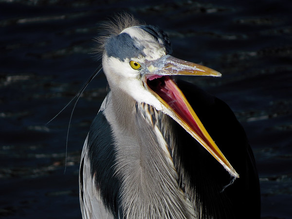 IMAGE: https://photos.smugmug.com/Other/Canon-SX50-HS/i-mC5BjNV/1/M/Great%20Blue%20Heron%20Tony%20Britton%202014-M.jpg