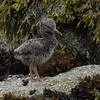 Black Oystercatcher Fledgling