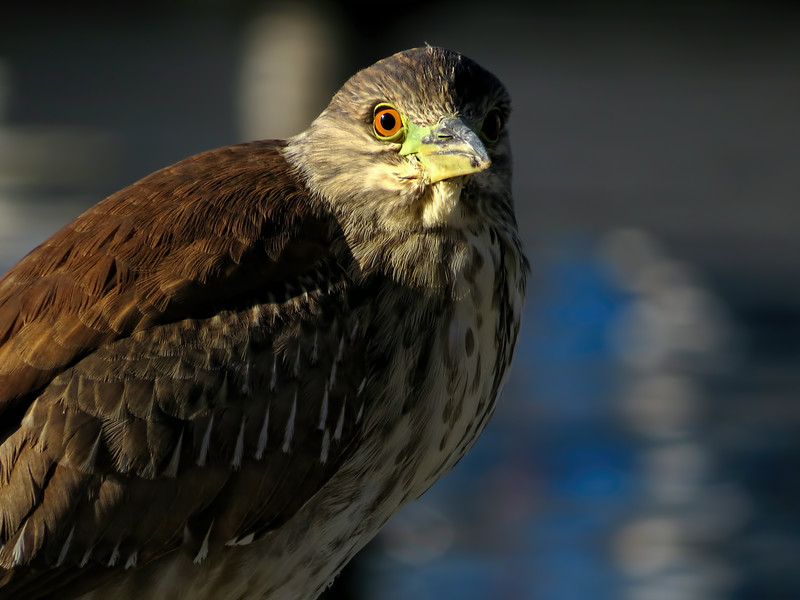 Juvenile Black-crowned Night Heron   (Nycticorax nycticorax)