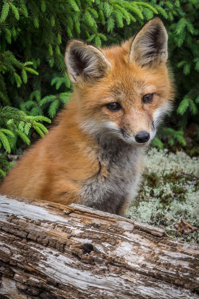 Fox, Algonquin Park, Ontario 2012 - 12x18, $145