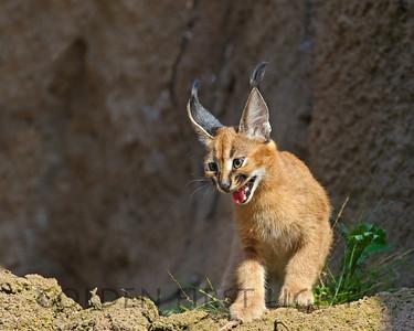 Caracal Kitten born at Oregon Zoo