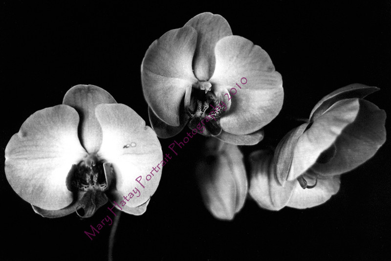 color scan b w orchid 4x6 copy
