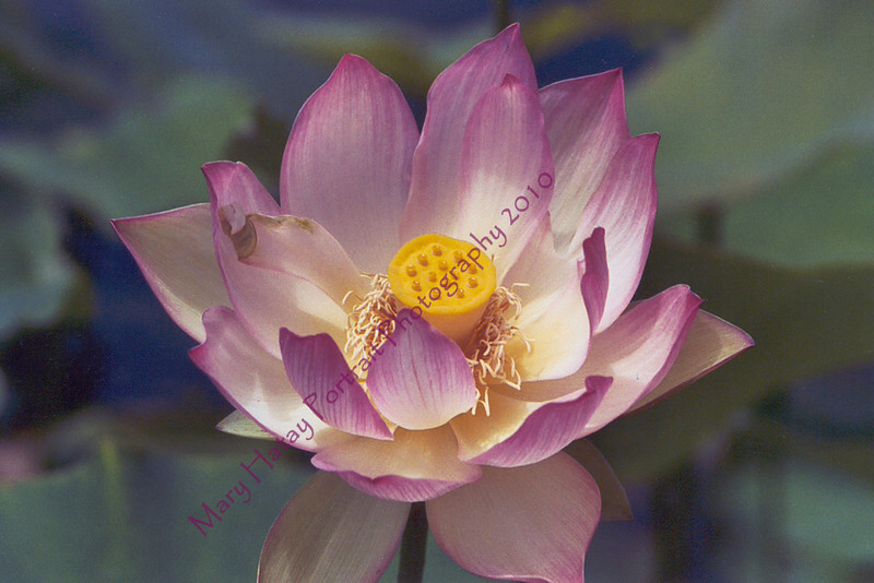 lotus copy