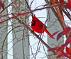 Red Rhapsody In Winter
