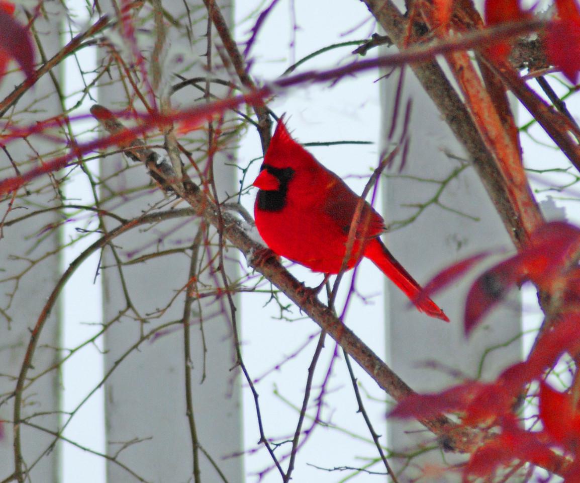 Red Rhapsody In Winter