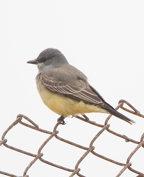 Cassin's Kingbird
