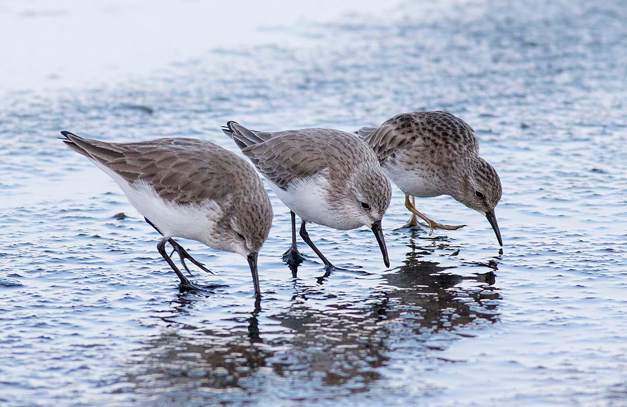 2 Western and 1 Least Sandpiper