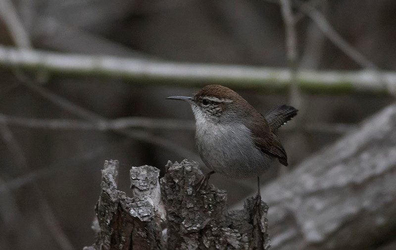 Bewick's Wren<br /> San Elijo Lagoon