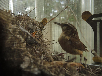 Carolina Wrens Nest