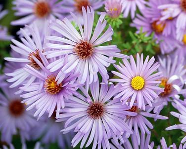 Adkins Arboretum Flowers - Caroline