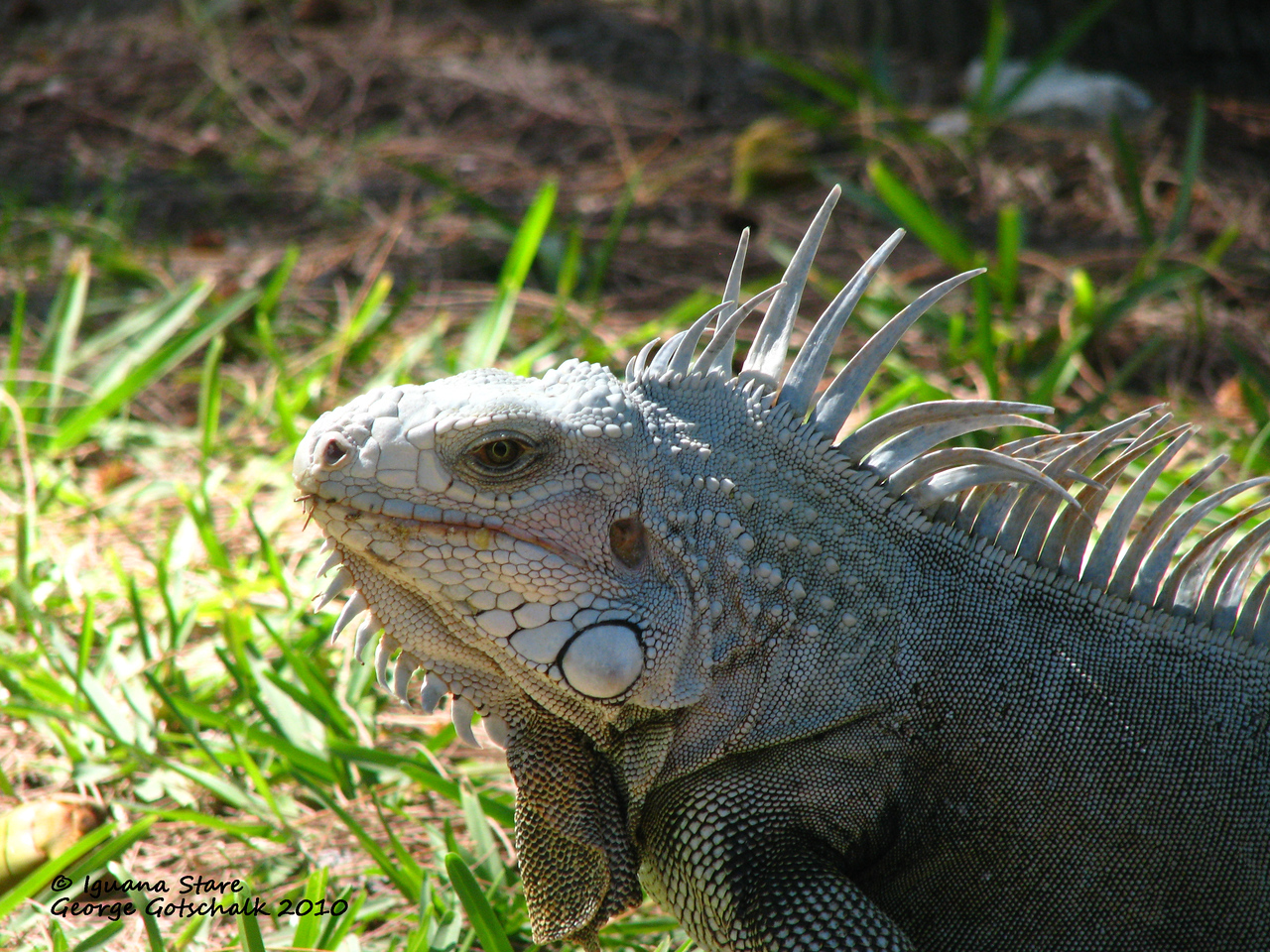 Another iguana giving me the stare down!