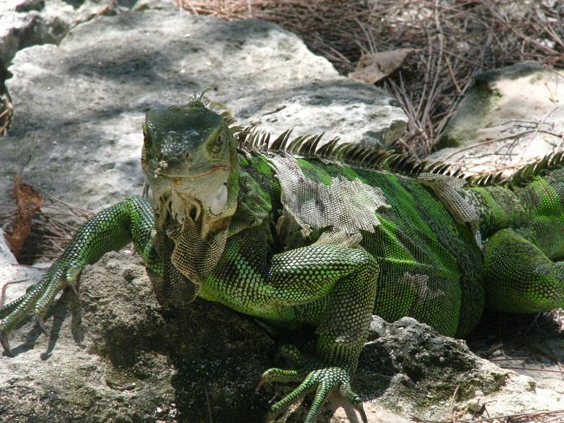 a molting iguana on Coco Cay.  He is wild by the way.  Not tamed or in any kind of enclosure.  Just wanders.