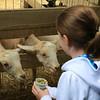 Ava feeding the goats.